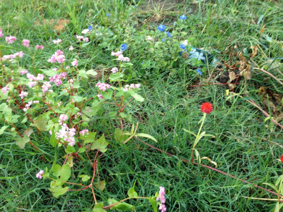自然農 あすみ畑の蕎麦と花