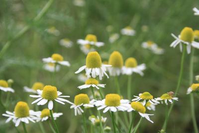 camomile カモミール