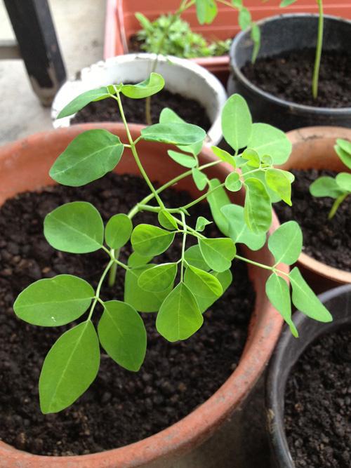 「奇跡の木」モリンガの栽培